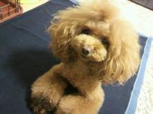 愛犬鈴ちゃん~トイプードル☆ライフスタイル~-2012112817200000.jpg