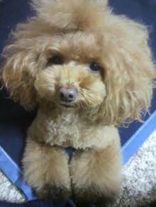 愛犬鈴ちゃん~トイプードル☆ライフスタイル~-2012112817230001.jpg