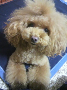 愛犬鈴ちゃん~トイプードル☆ライフスタイル~-2012112817230000.jpg