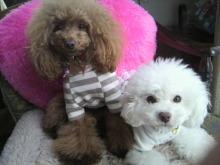 愛犬鈴ちゃん~トイプードル☆ライフスタイル~-2012123114160000.jpg