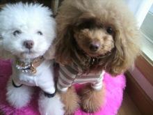 愛犬鈴ちゃん~トイプードル☆ライフスタイル~-2012123114180000.jpg