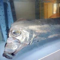 浜詰海水浴場で見つかったサケガシラ(京丹後市で)