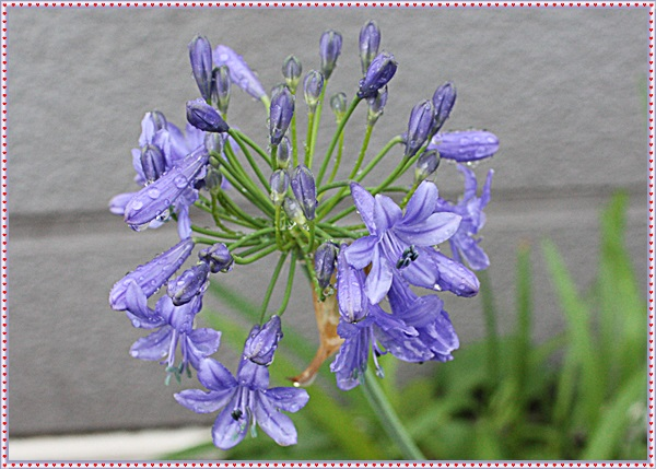 IMG_9246アガバンサス(紫君子ラン)
