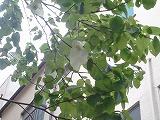 20140423ハンカチの木