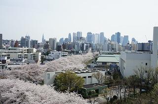 20140401新宿桜