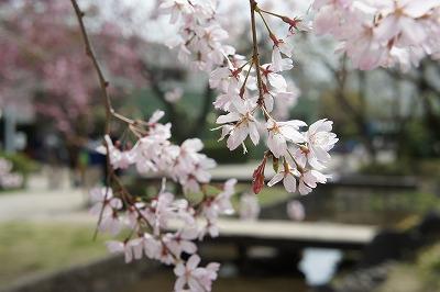 20140402桜
