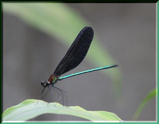 羽黒蜻蛉ー3