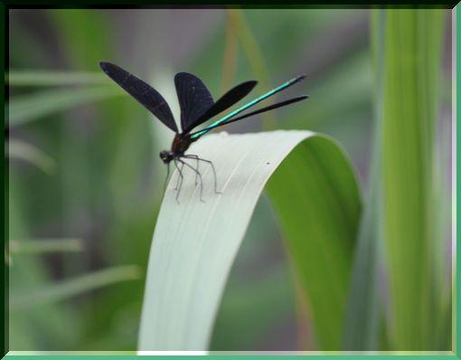 羽黒蜻蛉ー1
