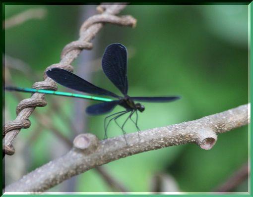 羽黒蜻蛉ー2