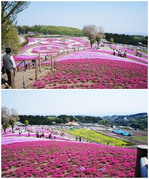 みさと芝桜公園1