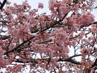 H260304桜