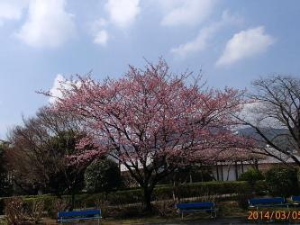 H260305桜