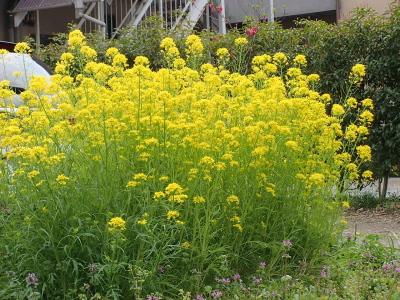 H260319菜の花