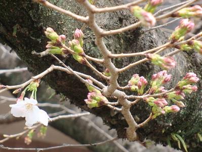 H260319桜