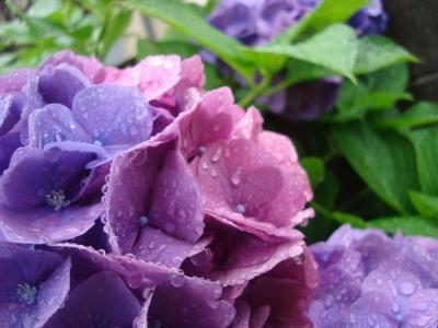 雨の日のアジサイ