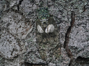 セミヤドリガ幼虫