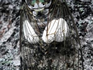 セミヤドリガ幼虫拡大