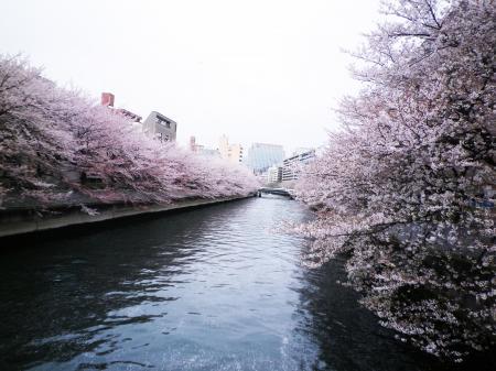 kawazoi-sakura.jpg
