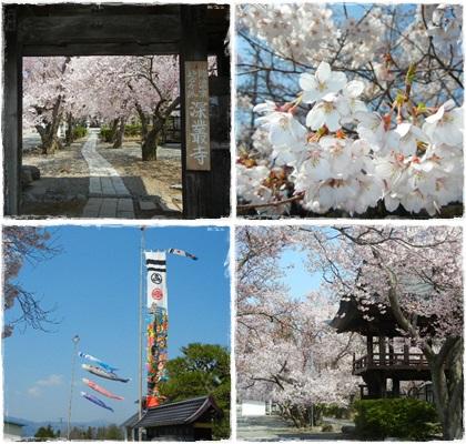 深厳寺の桜