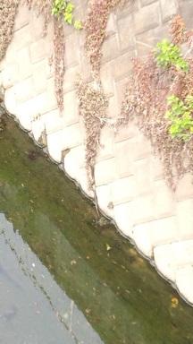 みらい住建 リフォーム 矢上川の大蛇3号11日①縮小