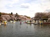 井之頭公園桜1
