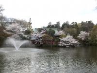 井之頭公園桜2
