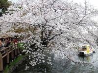 井之頭公園桜4