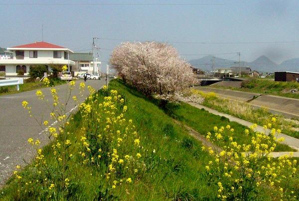 お遍路さんと桜26.4.9