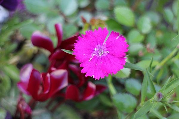 撫子の花 26.4.15
