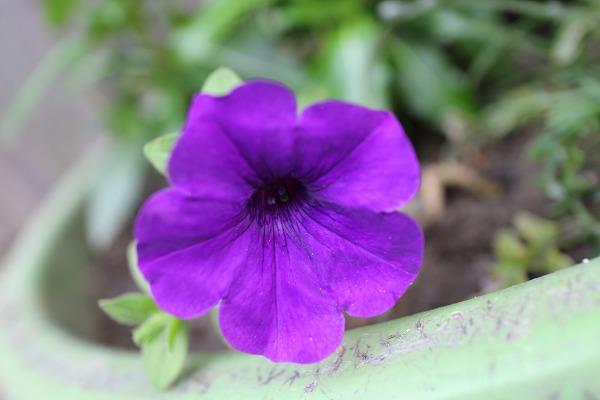 ペチュニア紫 26.6.10