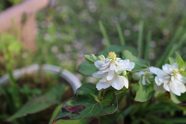 ドクダミの花八重咲きました 26.6.10