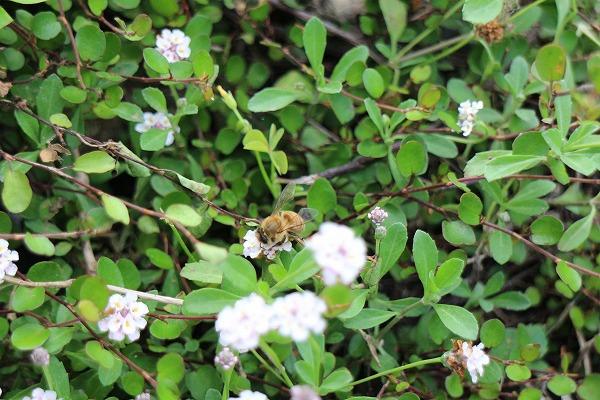 蜜蜂の蜜集め 26.6.29