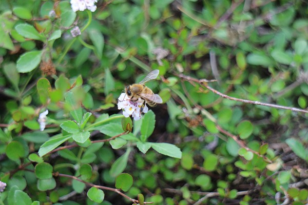 姫岩垂草にミツバチ 26.6.29
