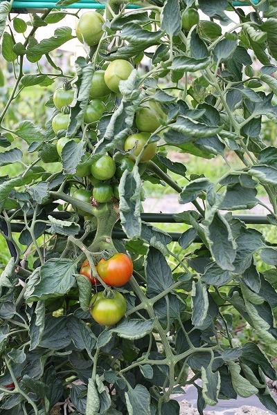 トマト赤1~2個 26.7.10