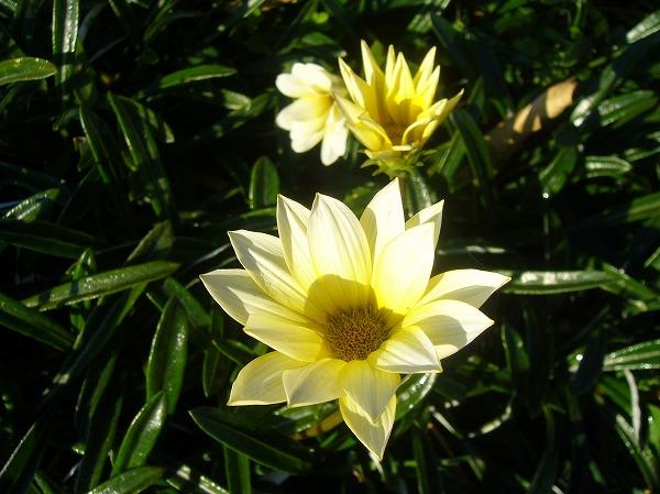 ガザニア冬にも咲いていました  26.1.10