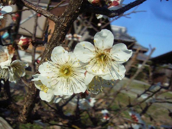 庭の白梅(1)26.2.24