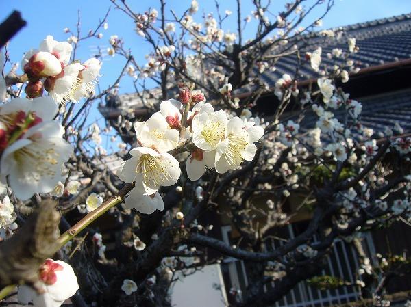 庭の白梅(2)26.2.24