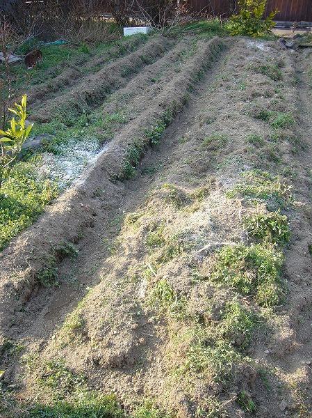 草を除けて畝作り26.2.24