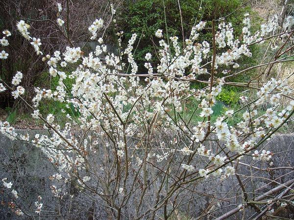 さくらんぼの花も26.3.12