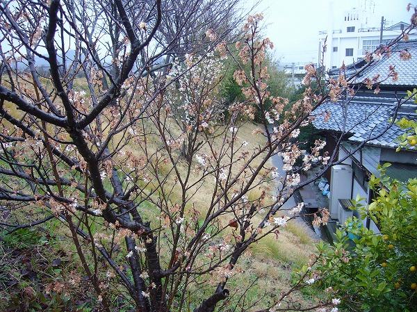 花の終わったさくらんぼ26.3.13