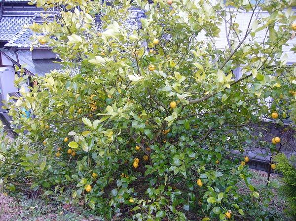 レモンの木 26.3.13