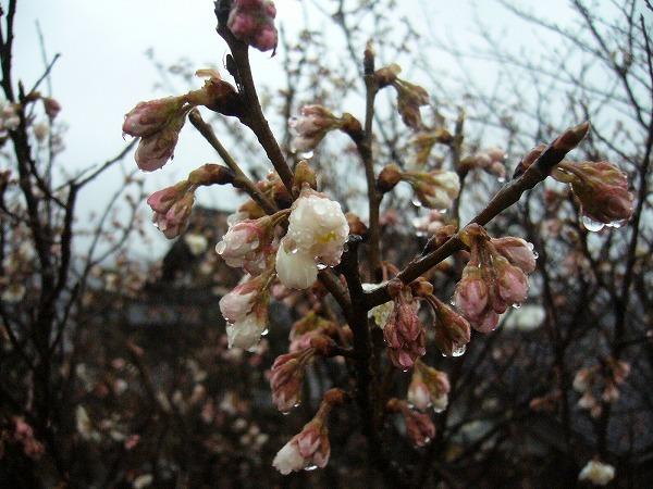 さくらんぼの花26.3.13