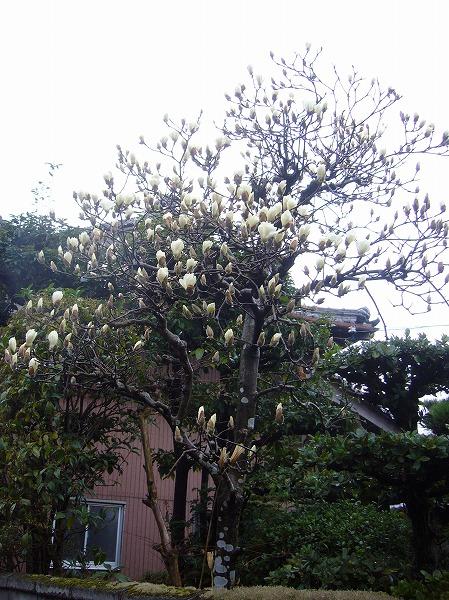 庭の木蓮の花咲き始め