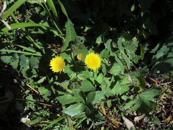 ハルノノゲシの花 26.3.22