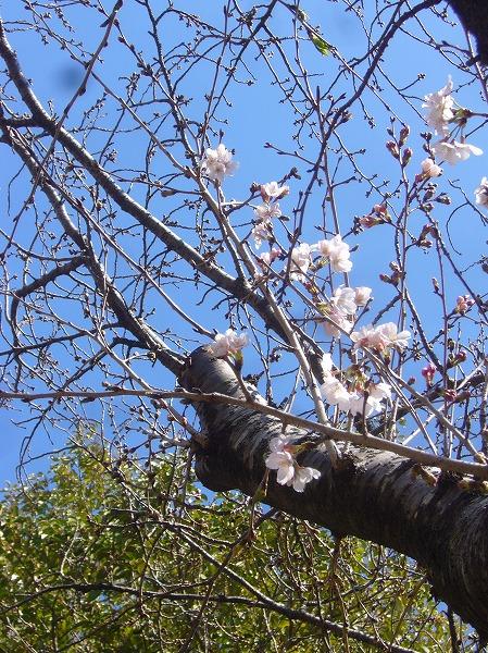 野草採取の山 さくら開花 26.3.22
