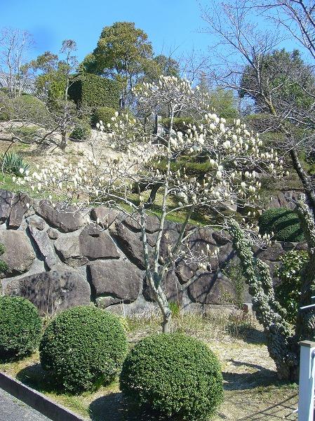 木蓮も咲いて春です 26.3.22