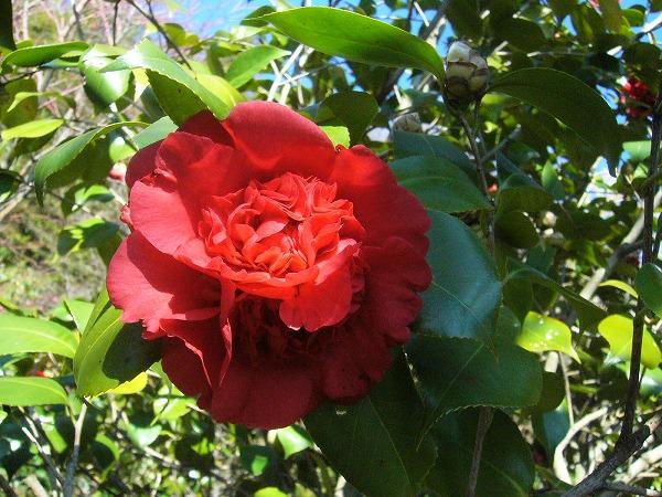 庭の椿赤 26.3.22