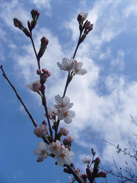三野の桜咲き始め 26.3.27