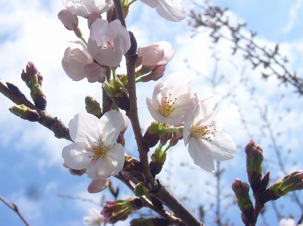 桜咲きました 26.3.27