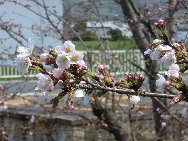 高瀬川横の桜咲き始め 26.3.27